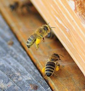 Albine aducând polen